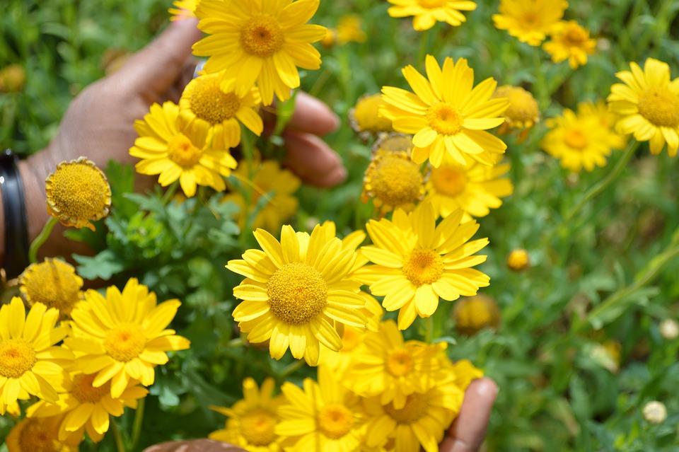 Dyers chamomile golden yellow free photo on pixabay dyers chamomile golden yellow flowers plant nature mightylinksfo