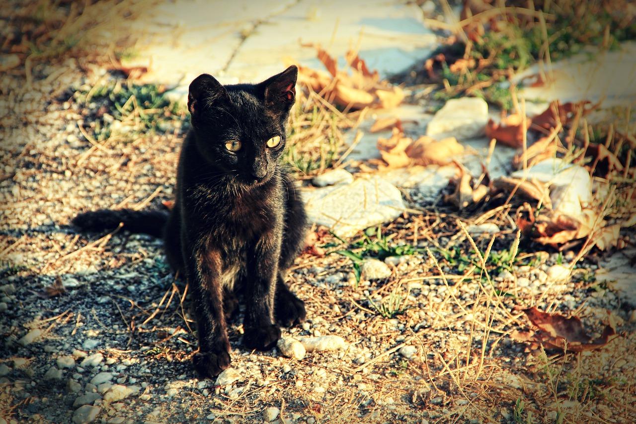 Кошка золотистая шиншилла фото наследие берегу