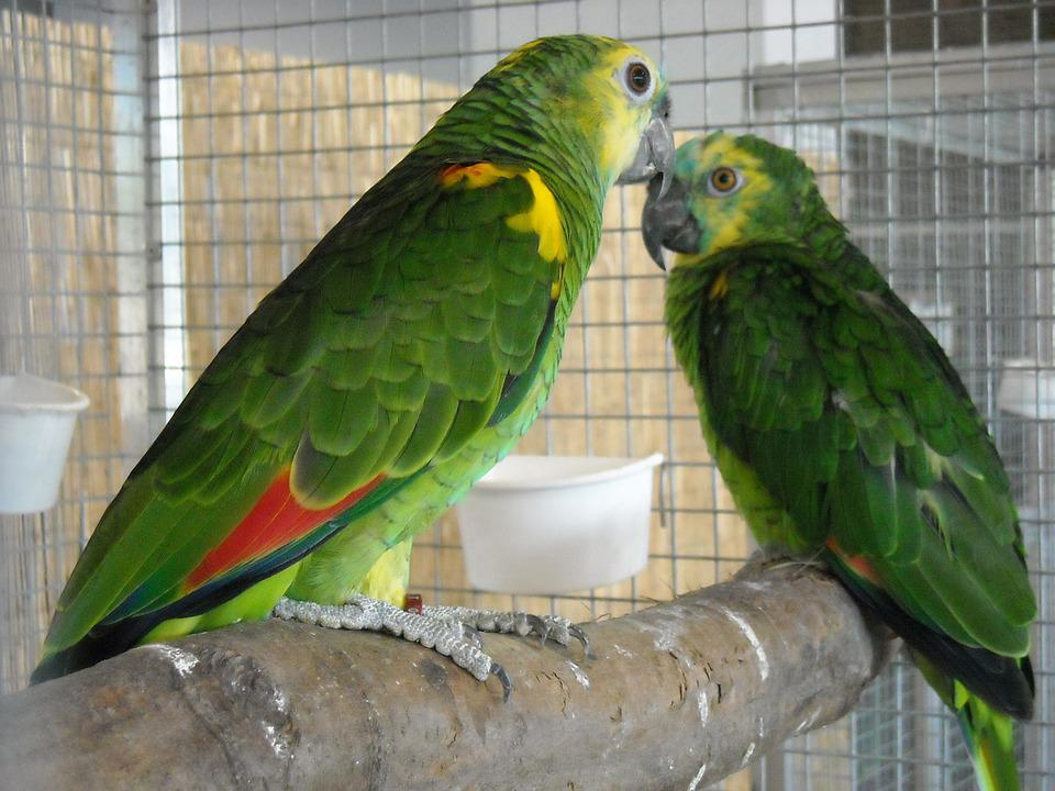 parakeets small parrots pets 183 free photo on pixabay