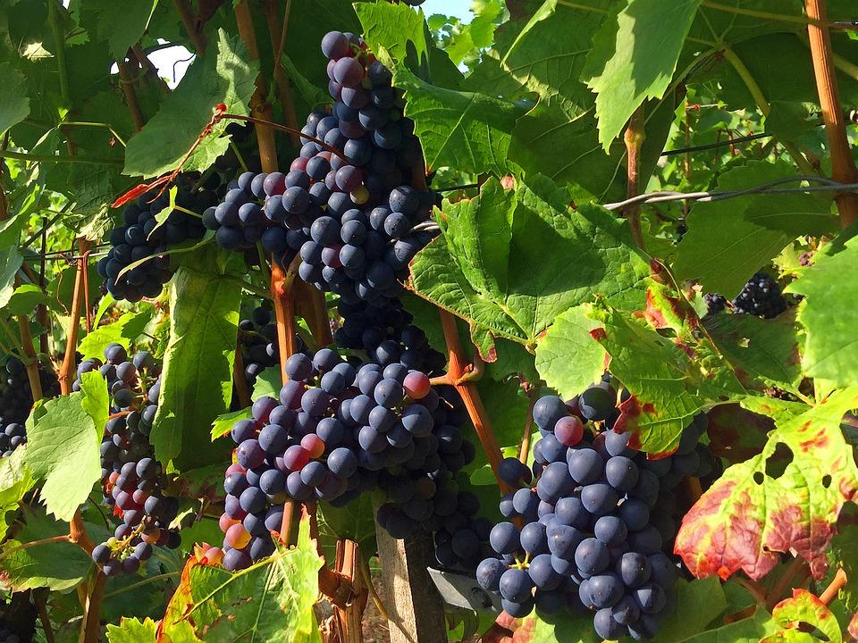 Bilder Blaue Weintrauben ~ Kostenloses Foto Trauben, Weinberg, Rebstock  Kostenloses Bild auf