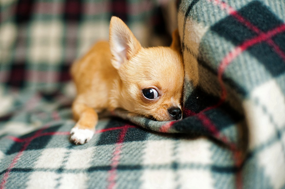 Chihuahua Puppy, Chihuahua, Dog, Small, Cute, Animal