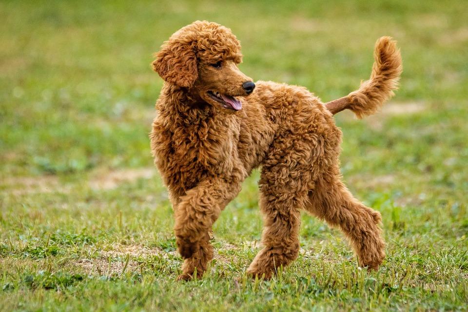 狗玩, 狗, 宠物, 可爱, 好玩, 动物, 可爱的动物, 家养, 搞笑, 可爱的