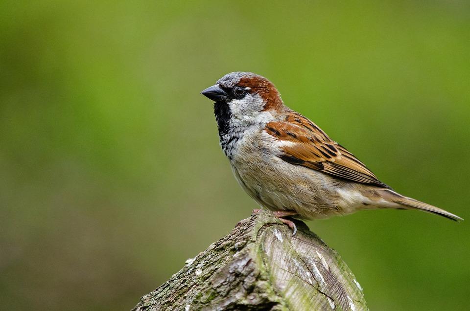 Free photo: Sparrow, B...