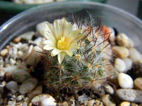 Cactus, Succulent, Mammillaria