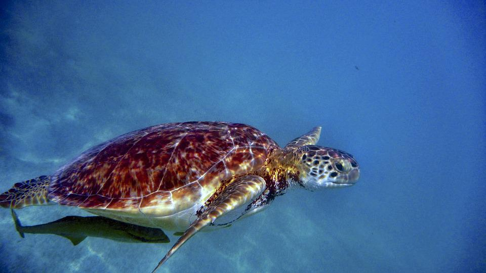 Water Turtle Sea 183 Free Photo On Pixabay