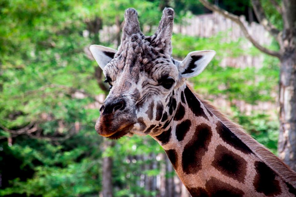 动物园, 长颈鹿, 斑, 大, 动物, 野生, 公园, 野生动物园, 森林