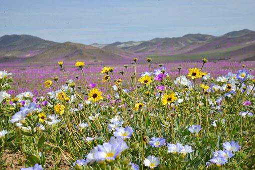 Hills, Flowering Desert, Flowers, Purple