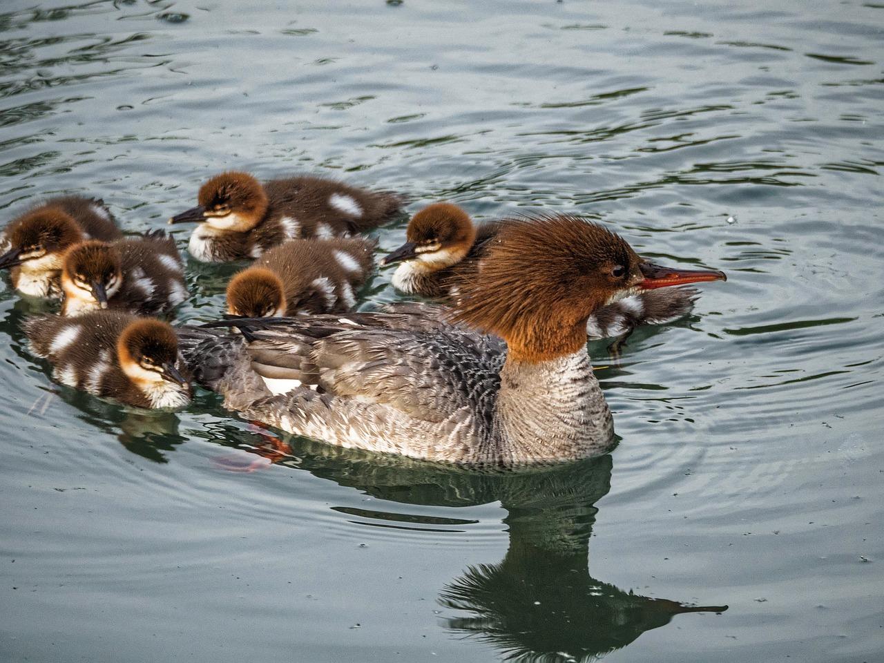 鸭子,婴儿鸭,在一行中鸭,婴儿,可爱,水,小鸭,鸟嘴,浮动,家庭,动物,鸟,年轻,自然,野生动物,野生,羽毛,多彩,可爱的动物,动物宝宝