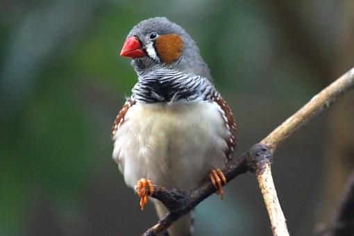 Zebra Finch, Bird, Animal, Sitting, Fink