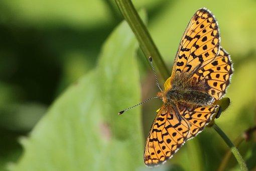 Schmetterling, Orange, Falter