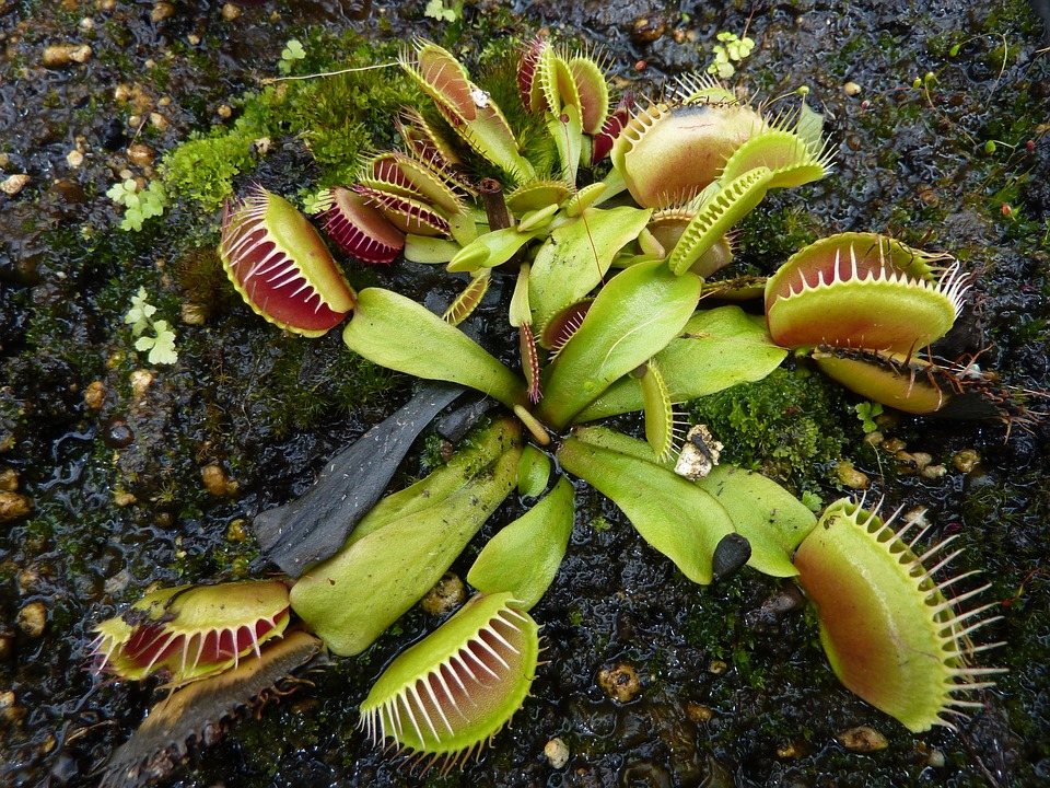 free photo venus fly trap carnivorous plant free image on pixabay 962575. Black Bedroom Furniture Sets. Home Design Ideas