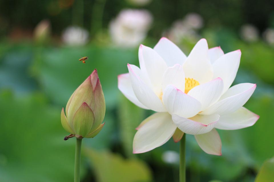 free photo lotus, bee, white lotus flower  free image on pixabay, Beautiful flower