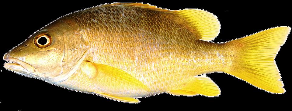 Isolated Fish Yellow Freshwater · Free image on Pixabay