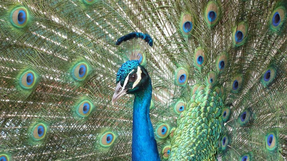 pauw vogel - gratis foto op pixabay