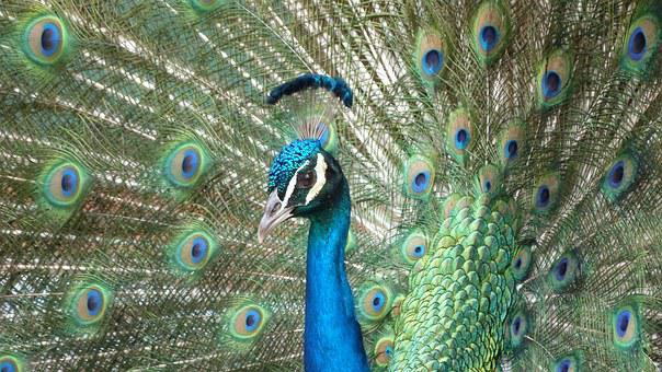 Pavo Real, Ave, Plumas