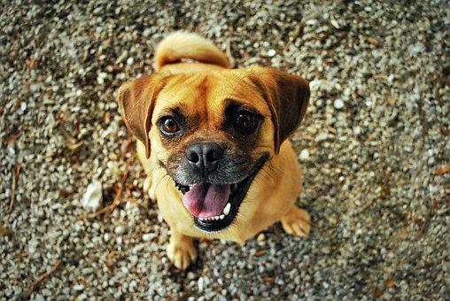 Pug, Dog, Happy, Smiling, Pet, Happy Dog