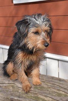 Dog, Terrier, Wiener Yorkshire, Hybrid