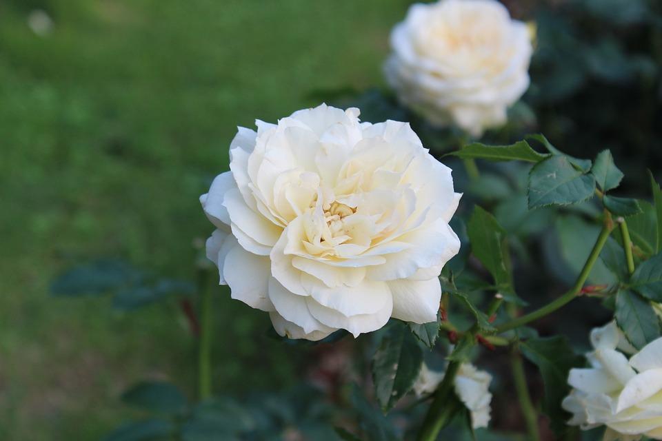White rose flowers the free photo on pixabay white rose flowers the white rose cluster garden mightylinksfo