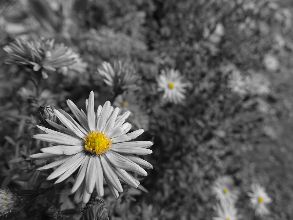 Floral Black And Grey Nature Tattoo: Aster Grey Yellow · Free Photo On Pixabay