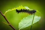 caterpillar, larva, animal