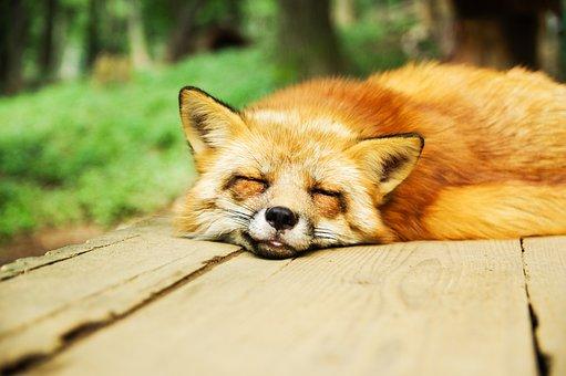 動物, フォックス, かわいい, 眠っている, 睡眠, 休憩, リラックス, 犬