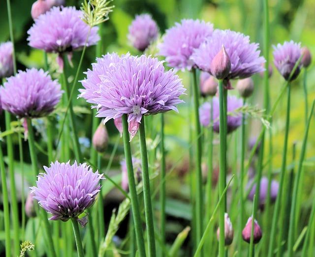 Chive Flowering u003cbu003eNatureu003c/bu003e - Free photo on Pixabay