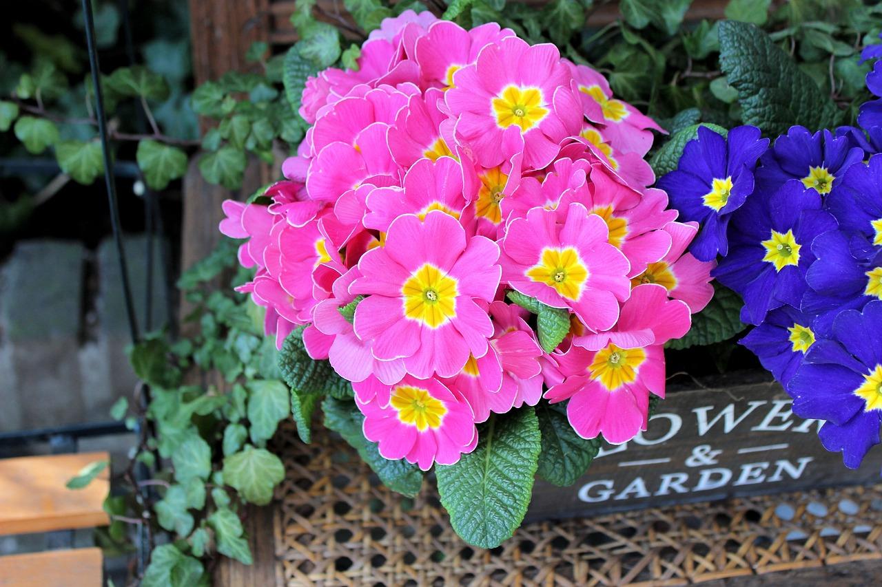 Примула Роуз Цветок - Бесплатное фото на Pixabay