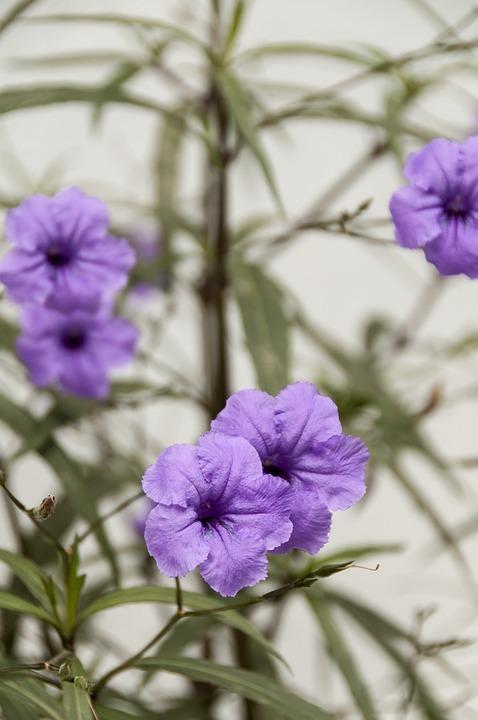 petunia  free images on pixabay, Beautiful flower