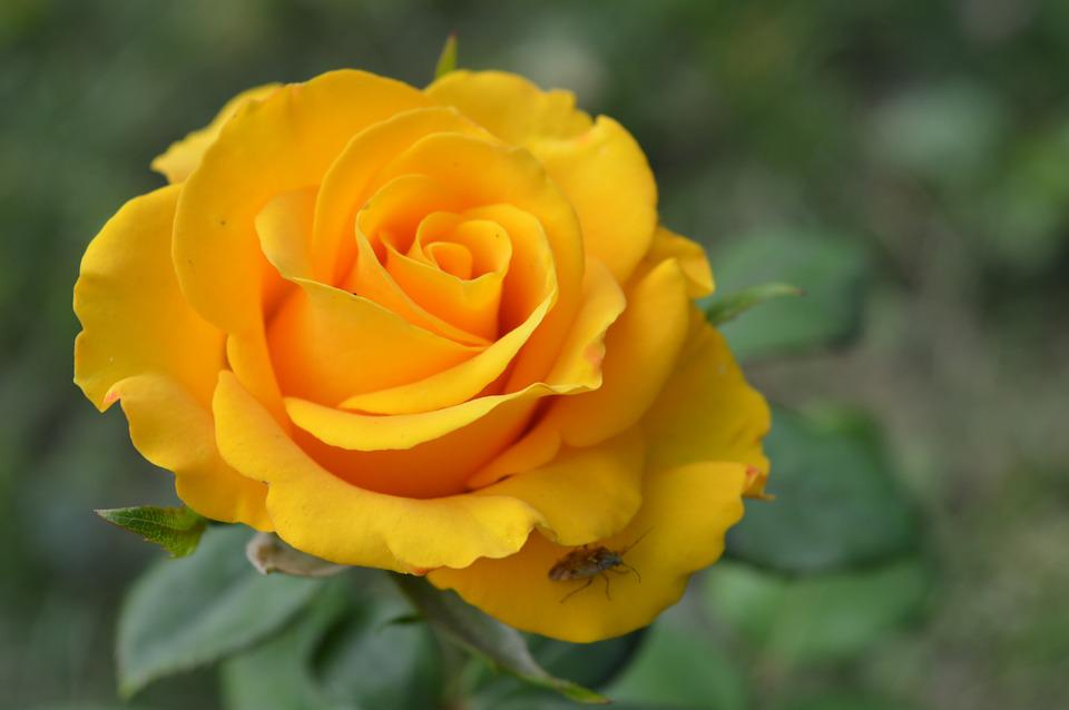 Rose yellow flower free photo on pixabay rose yellow flower floral nature plant love mightylinksfo
