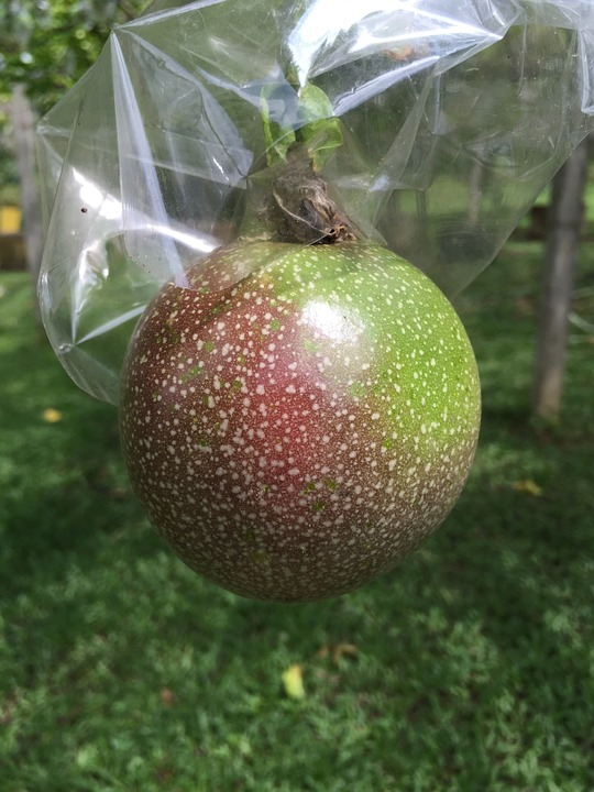 Free photo passion fruit gardening fruit free image for Gardening is my passion