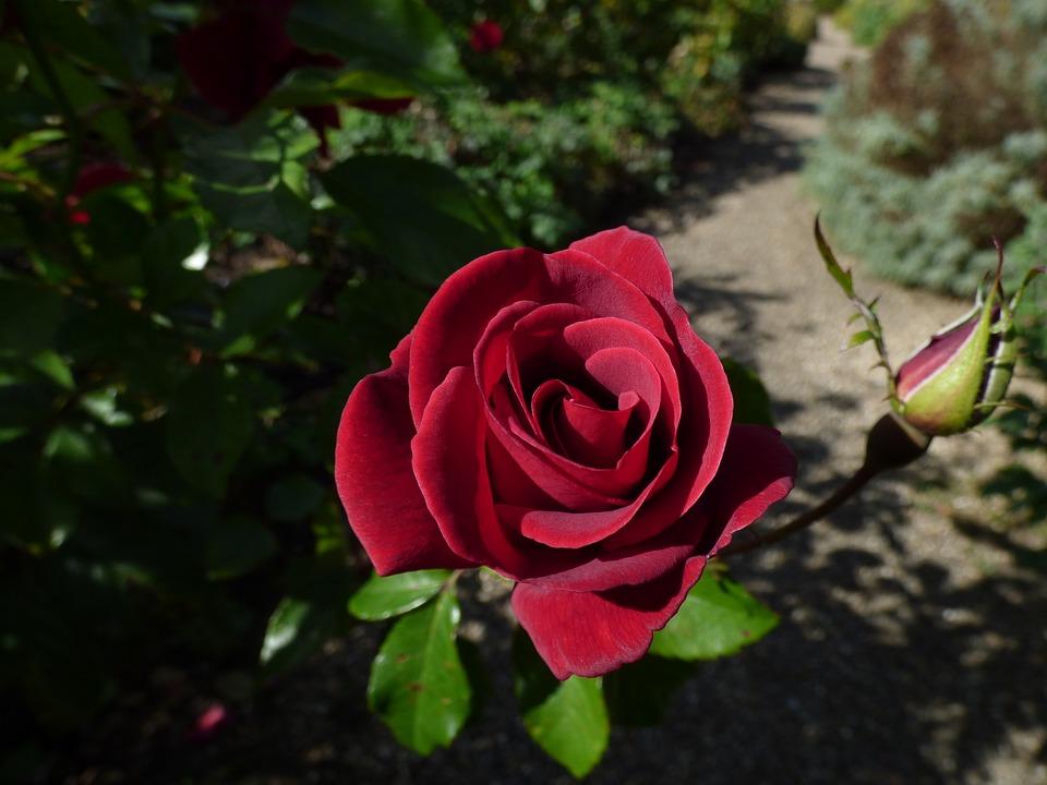 Роза на английском