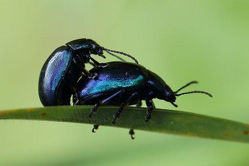 Himmelblauer Blattkäfer, Paarung, Käfer