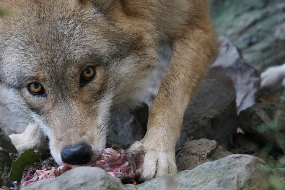 Волк, Европейский, Внимание, Фотоохота