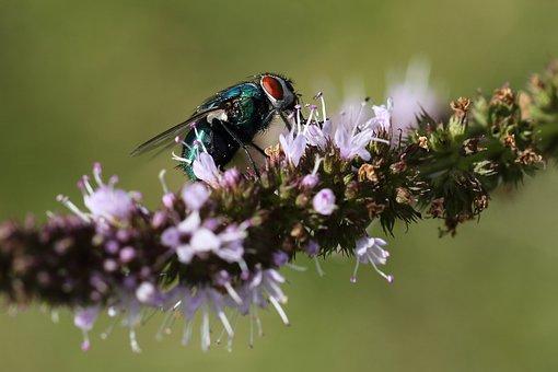 Fliege, Insekt, Stubenfliege