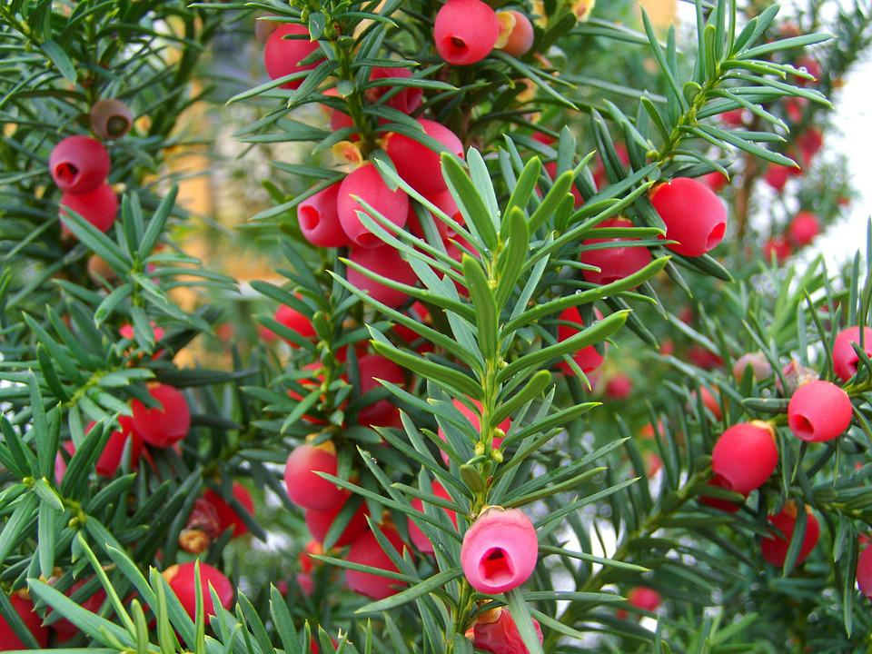 Yew Tree Fruit, Berry, Red, Nature, Plant, Wood, Fruits