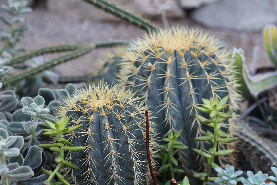 foto gratis planta cactus plantas picos imagen