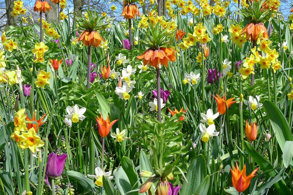 Photo gratuite tulipes fleurs printemps jardin image for Jardin printemps 2015