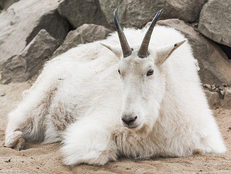 Cabra Montés, Zoológico, Blanco, Pieles