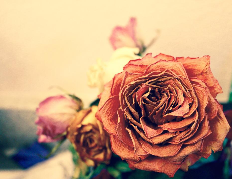 Rose Dead Orange Yellow Pink Flower Pretty