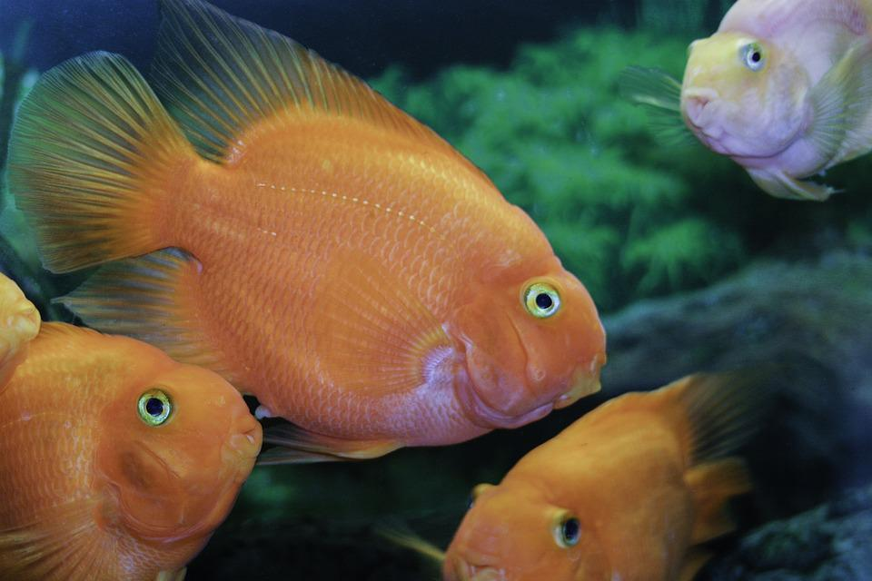 Fish orange tropical free photo on pixabay for Small tropical fish