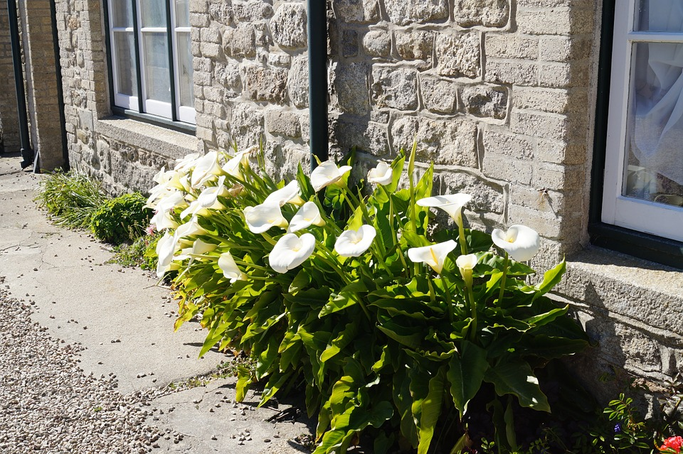 Gemeinsame Cornwall Blumen Calla - Kostenloses Foto auf Pixabay @DM_46