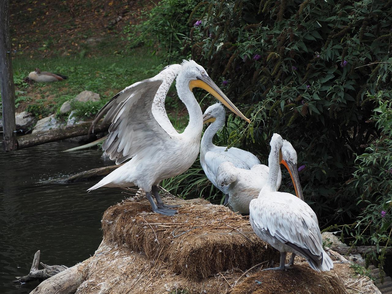 Картинки с пеликаном для любви, сделать открытку
