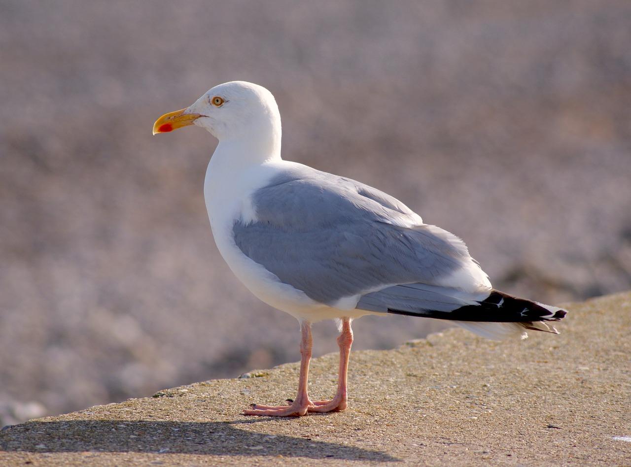 Чайка фото птицы для детей