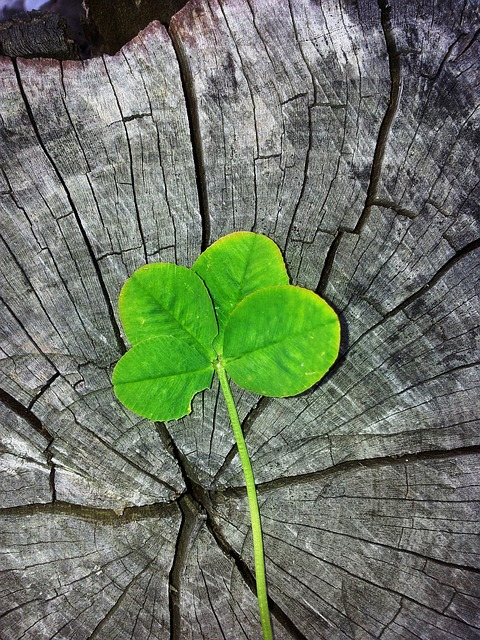 free photo four leaf clover luck lucky charm free