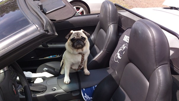 Dog, Pug, Auto, Pet, Cute, Lap Dog