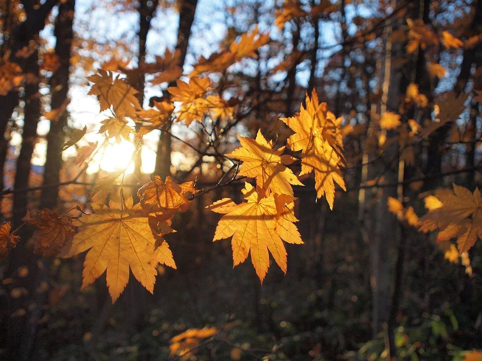 Осенние Листья, Солнечные Лучи, Осень, Падение Японии