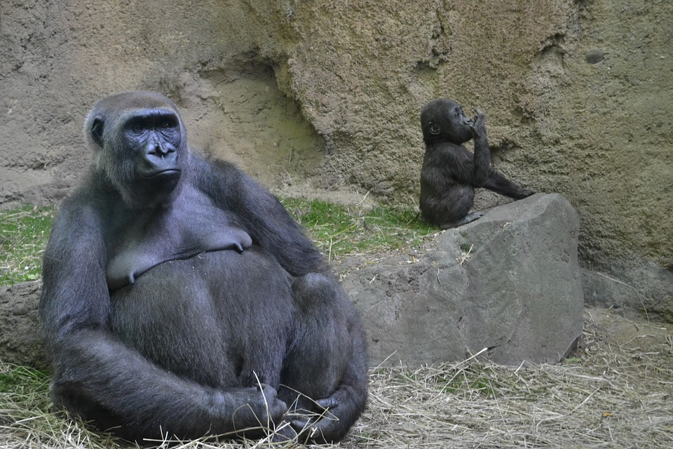 Free Photo Gorilla, Zoo, Animal, Ape, Male - Free Image -8482