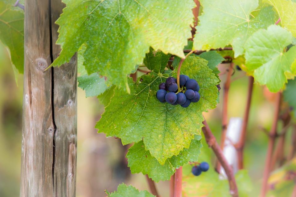 Weintrauben, Weinlaub, Spätburgunder, Blätter, Herbst