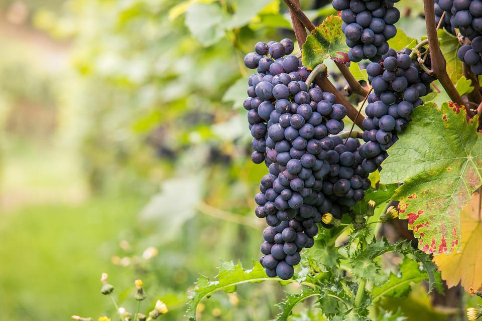 Wine, Grapes, Late Burgundy, Vine Leaves, Leaf, Fall