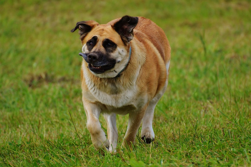 Dog funny face free photo on pixabay dog funny face funny animal pet cute play fur voltagebd Gallery